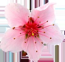 Fiore di Pesco podere francesco abruzzo