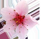 Fiore Rosa Podere Francesco Abruzzo